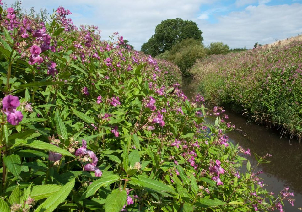 Balsam bashers wanted in Netherfield this Saturday