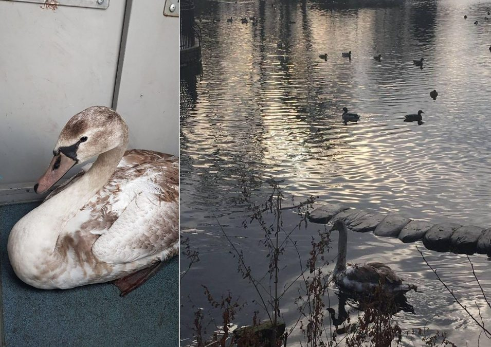 Injured swan on road to recovery after seeking out police in Arnold for help