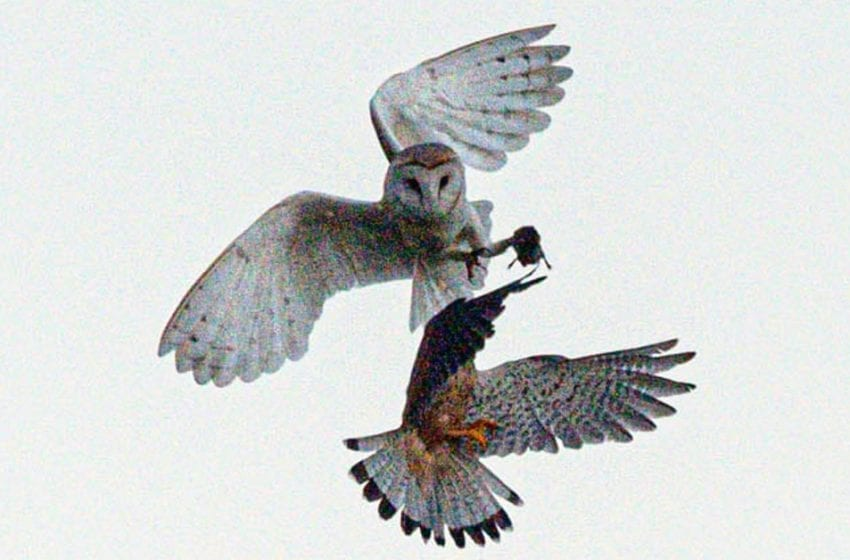 PICTURED: The moment a daring kestrel swoops in to steal a barn owl's kill out of its talons above Newstead and Annesley Country Park is caught on camera